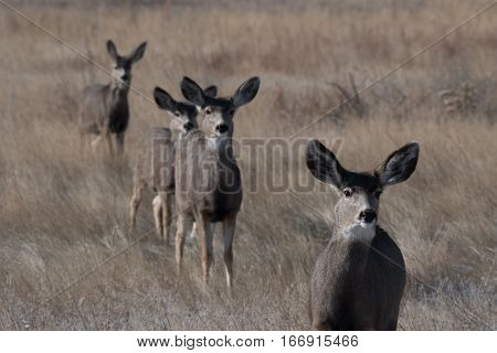 Mule Deer Juveniles in Near Perfect Alignment