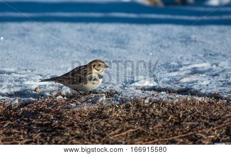 Lapland Longspur Foraging for Food on a Cold Morning