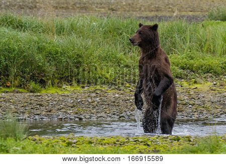 A Brown (Grizzly) Bear Standing while Searching for Food along a Creek