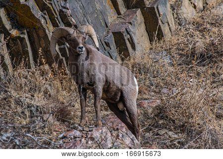 A Bighorn Sheep Ram Observing his Domain