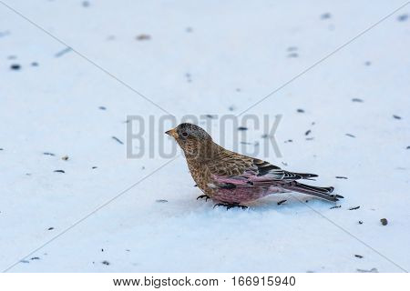A Brown-capped Rosy Finch foraging for Food in the Snow
