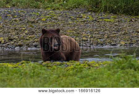 A Brown (Grizzly) Bear Searching for Food along a Creek