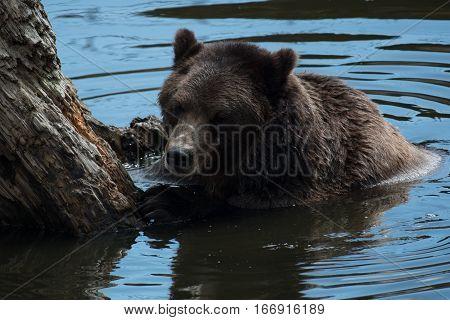 A Brown (Grizzly) Bear taking a Swim