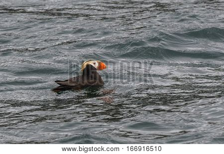 A Tufted Puffin in the Open Ocean in Alaska