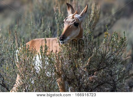 A Young Pronghorn Peeking through a Sagebrush