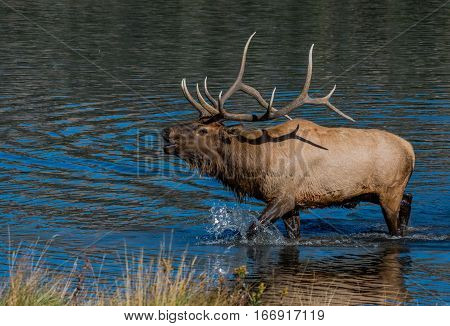 Bull Elk Bugling while in a Lake During Mating Season