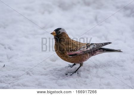 A Gray-crowned Rosy-Finch on the Snowy Ground