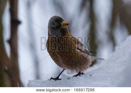 A Gray-crowned Rosy-Finch poses while Foraging for Food in the Snow