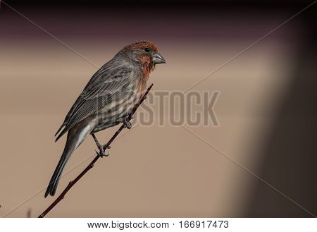 A House Finch Perched on a Shrub Branch