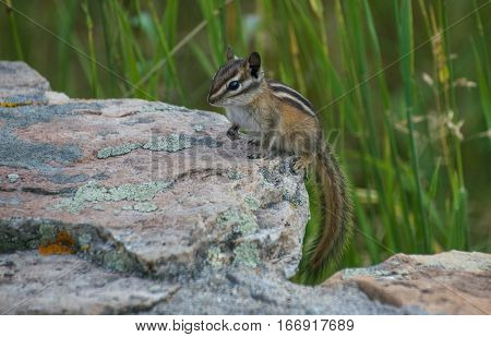An Adorable Least Chipmunk Posing for the Camera