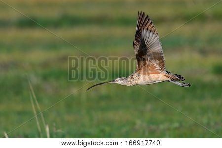 A Long-billed Curlew in Flight during Spring