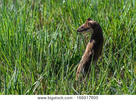 A Short-tailed Weasel Poses on the Prairie