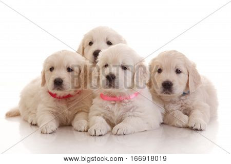 Four one month old puppies of golden retriever isolated on white