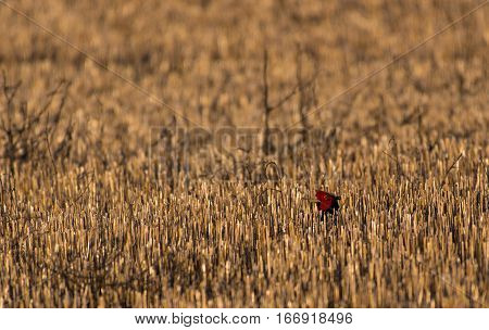 A Ring-necked Pheasant Peeking out Amidst a Sea of Grassland