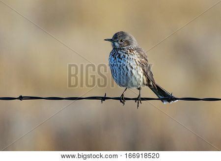 A Juvenile Sage Thrasher in a Wire Fence