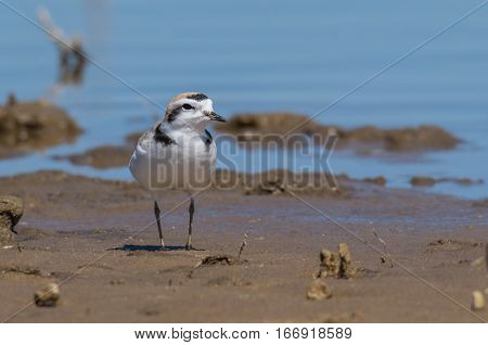 A Beautiful Snowy Plover Searching for Food