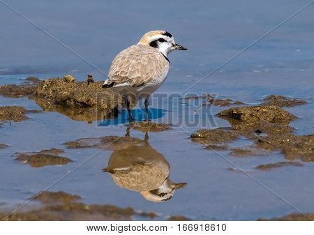 A Snowy Plover on a Lake Shore with Reflection