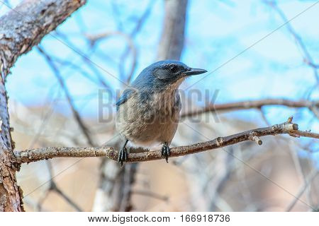 A Woodhouse's scrub Jay Poses for Photo While Foraging for Food