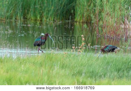 White-faced Ibis pair foraging for food along the Lake Shore