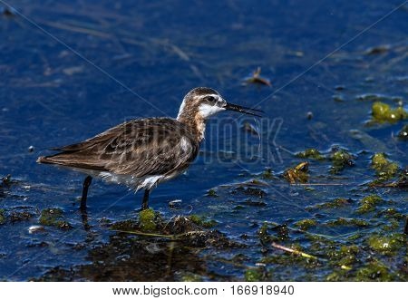 A Female Wilson's Phalarope Searching for Food