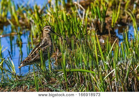 A Wilson's Snipe in Wetlands on a Spring Morning