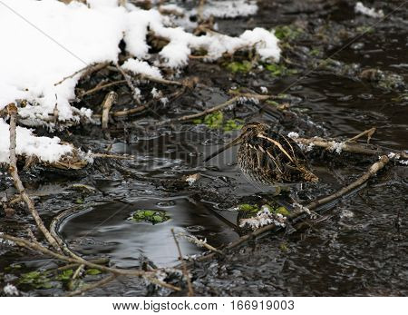 A Wilson's Snipe Looking for Food in a Creek