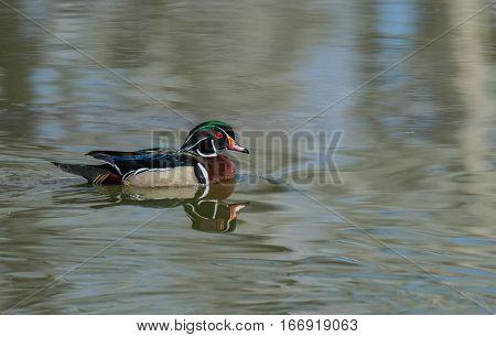 Wood Duck Drake Swimming on a Lake