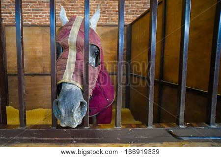 Horse covered with a deep purple blanket in a stable
