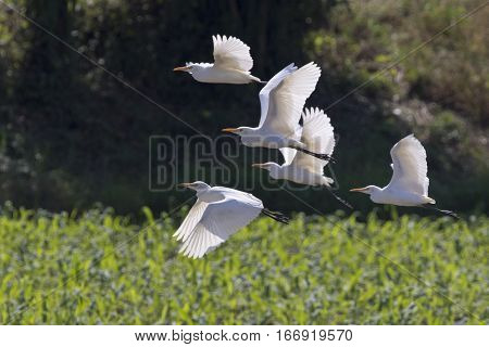 Image of egret flying. Heron. Wild Animals.