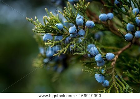 Fresh juniper berries on a green branch