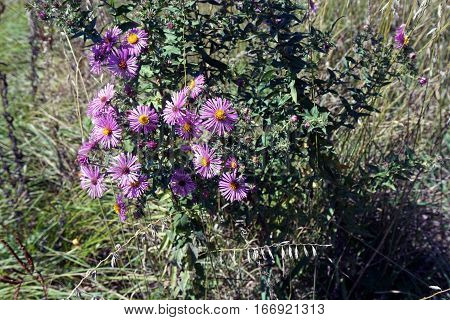 New England asters (Symphyotrichum novae-angliae), also called the Michaelmas daisy, blooming in Joliet, Illinois during September.