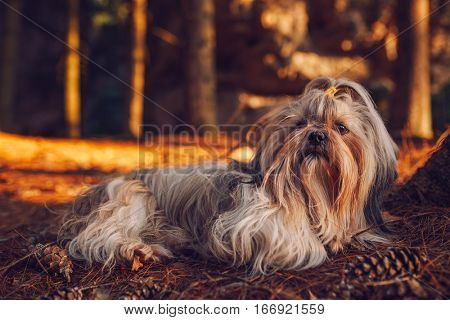 Shih tzu dog resting after travel in forest. Red sunset light.