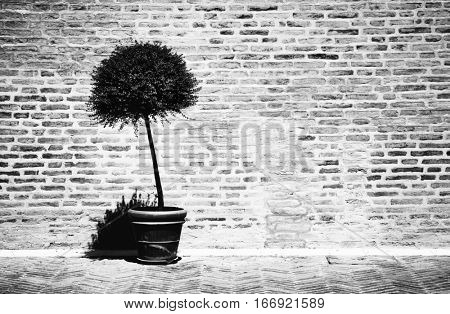 Tree in a flowerpot on brick wall background. Contrast black and white film style colors.