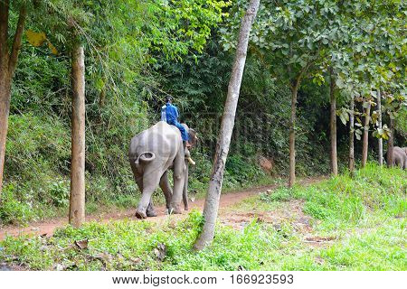 CHIANG RAI THAILAND - JANUARY 8 2017: A Mahout atop his elephant. At the Anantara Golden Triangle Elephant Camp a charity designed to help elephants and their handlers.