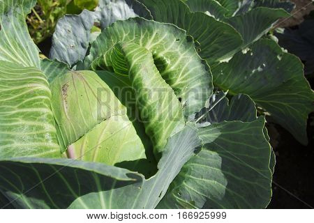 top view of head of cabbage at garden bed