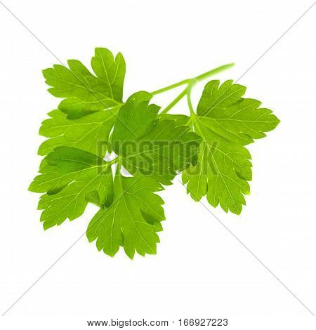 Green Fresh Parsley Isolated on White Background