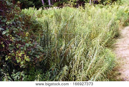 A large stand of stinging nettles (Urtica dioica) in a yard in Harbor Springs, Michigan during August.