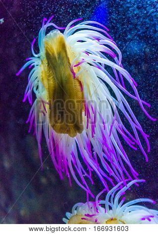 Blue sea anemone at aquarium