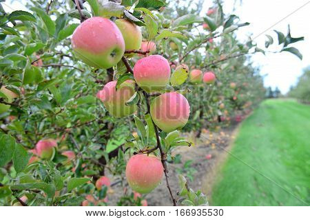 Ida Red Apples - This Photo was taken at Apple Orchard in Malta Illinois