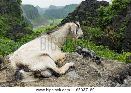 Mountainous goat in Ninh Binh province Vietnam. Ninh Binh goat meat is famous food in Vietnam