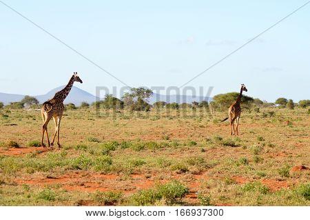 Two giraffes walking through the savanna of Tsavo West Park in Kenya