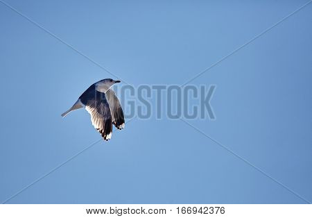 European Herring Gull In Flight