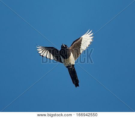 European Magpie In Flight