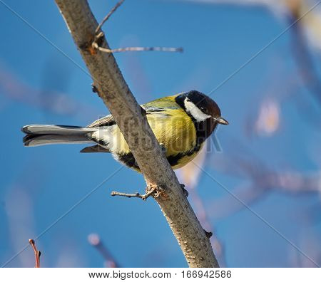 Great Tit Perched