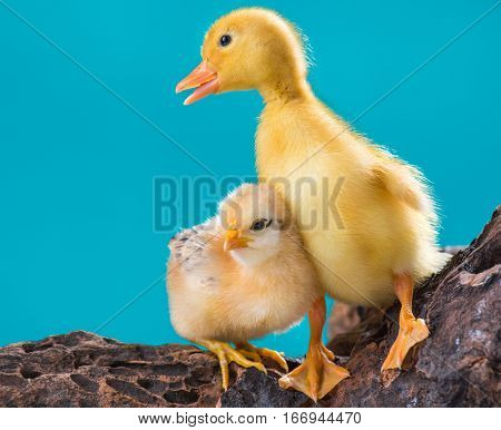 Cute little newborn chicken and yellow fluffy gosling on blue background, standing on wood. Newly hatched chick and goose on a chicken farm.
