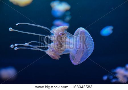 Small Jelly Fish