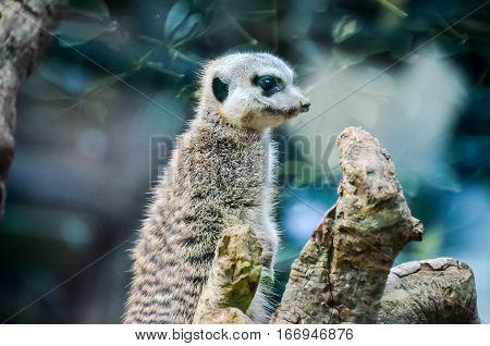 Small Carnivore Mammal Animal Suricata