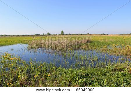 Wet meadow with marsh marigolds. Spring landscape