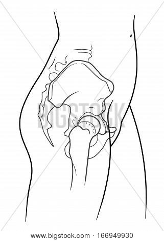 The internal structure of the human pelvic belt side view. On a white background