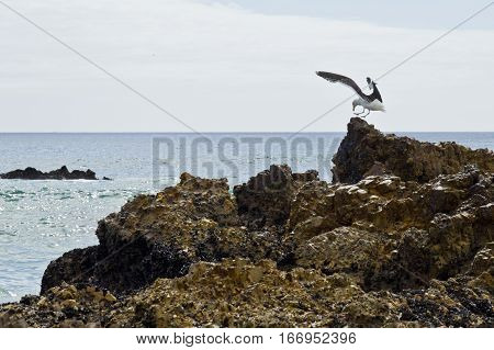 tranquil scene of a Seagull landing on a rock at the edge of the ocean on a warm summers day